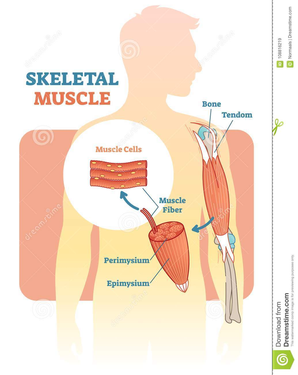 hand muscles diagram active directory visio skeletal muscle vector illustration anatomical