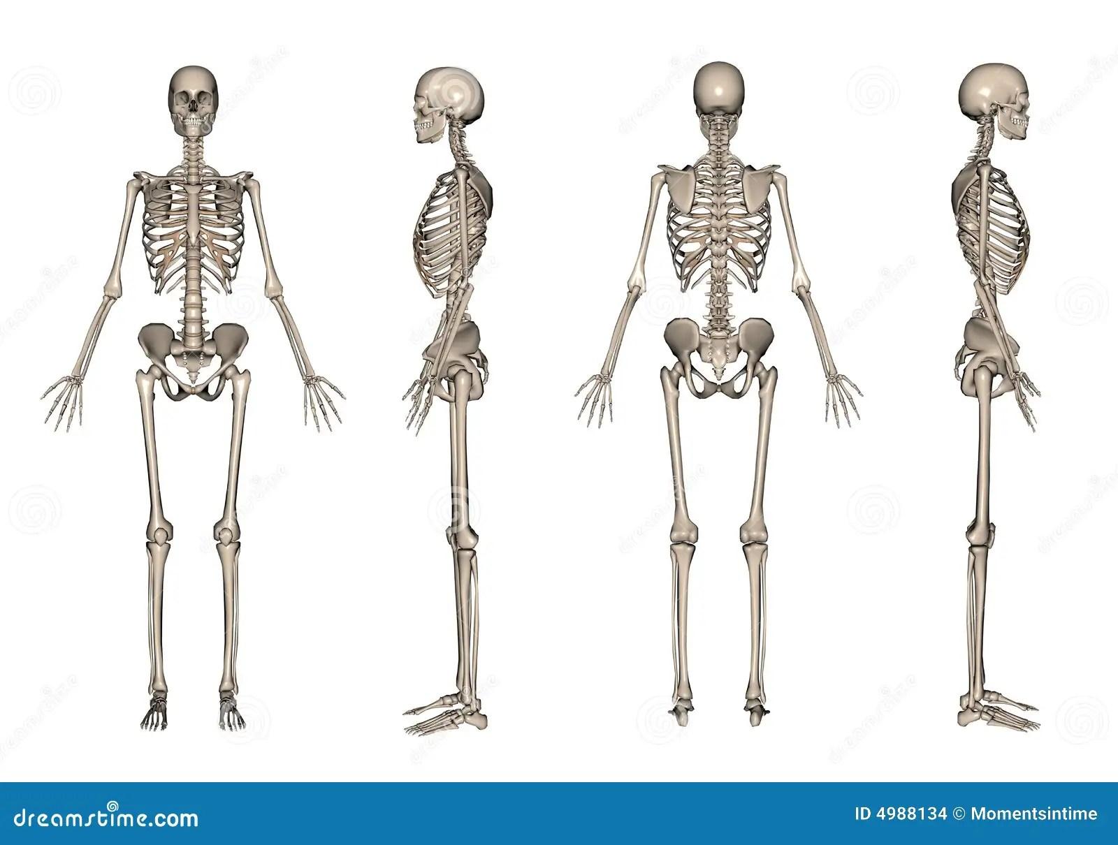 Skeleton 3d Render Stock Illustration Illustration Of Shape