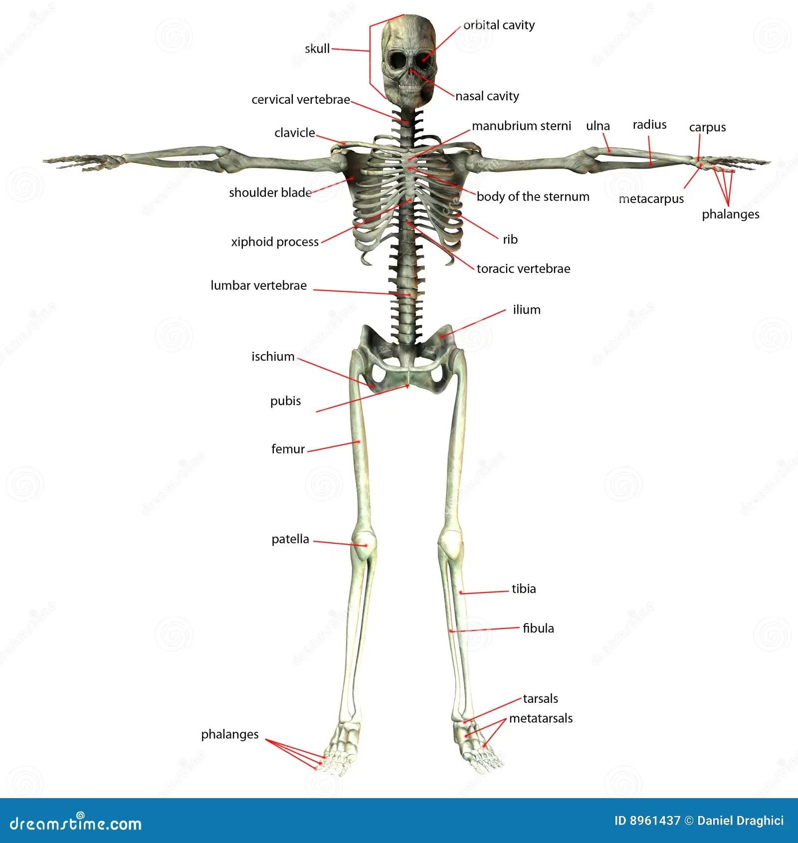 Skeleton Bone Names