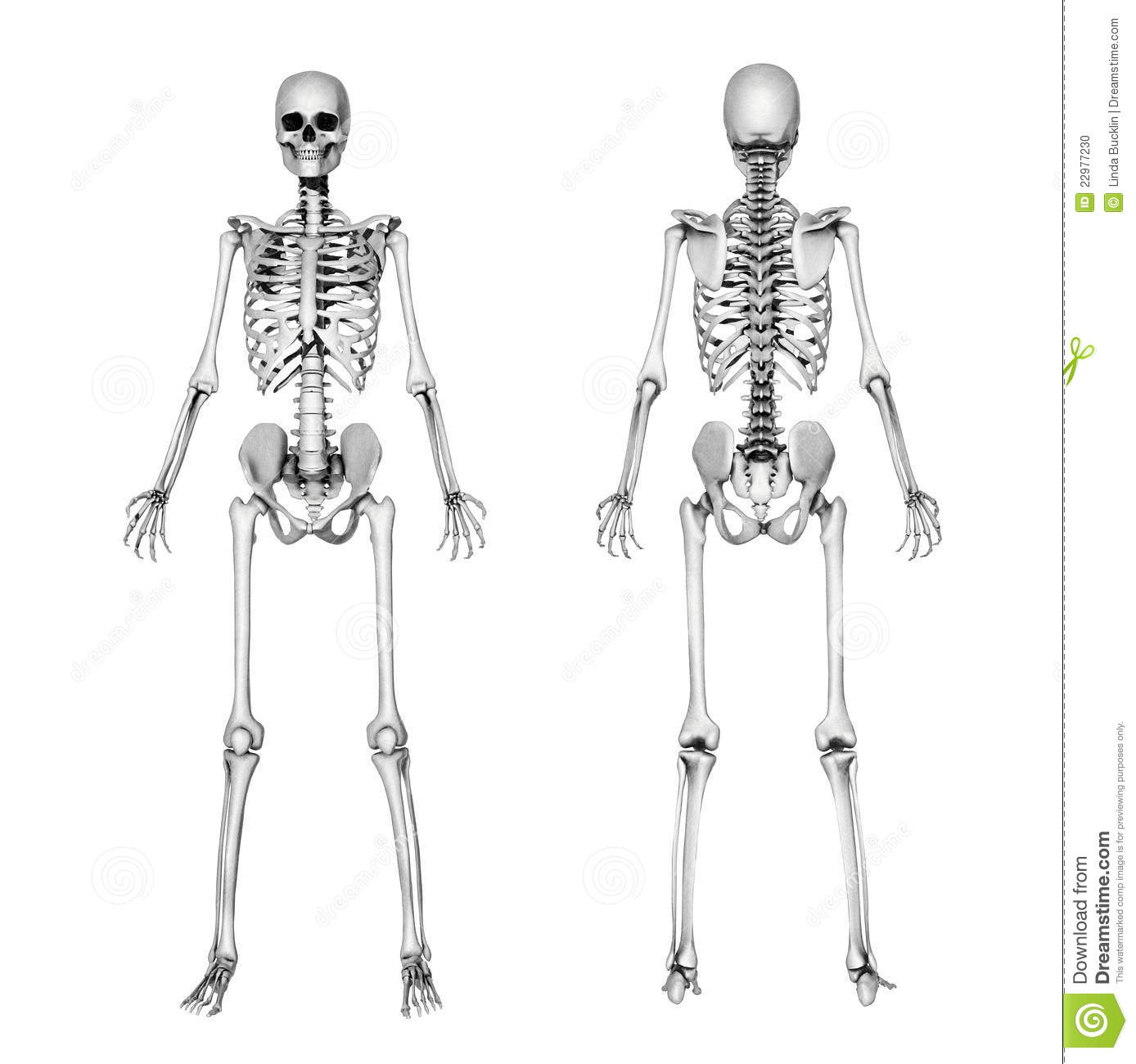 hight resolution of skeleton front back pencil drawing