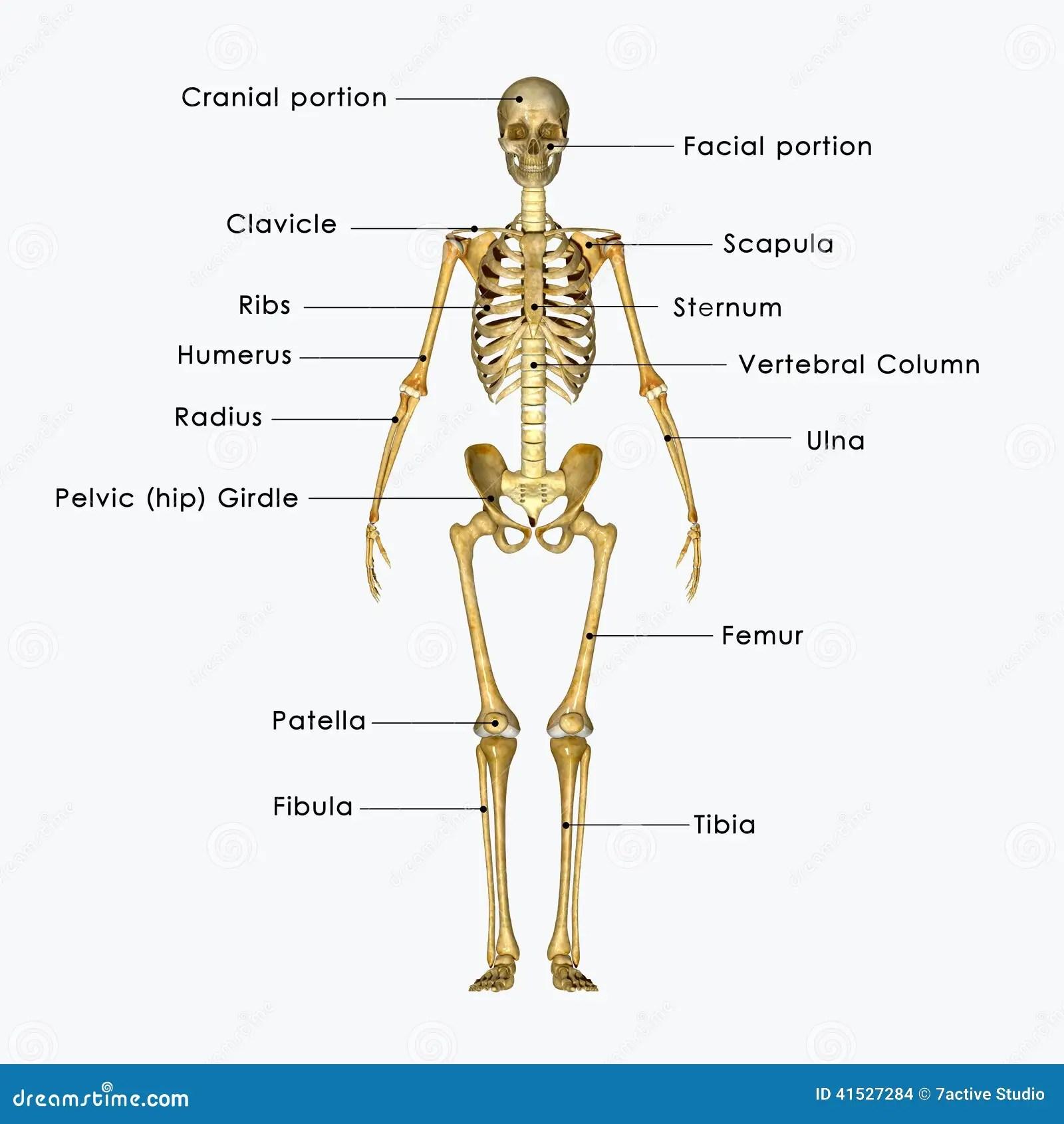 Skeleton Labelled Stock Illustration Illustration Of