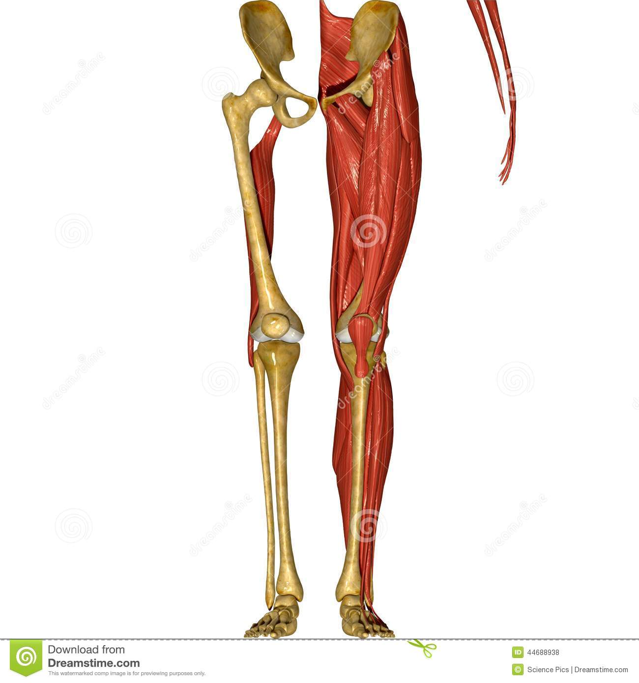 Skeleton And Muscles Of Legs Stock Illustration