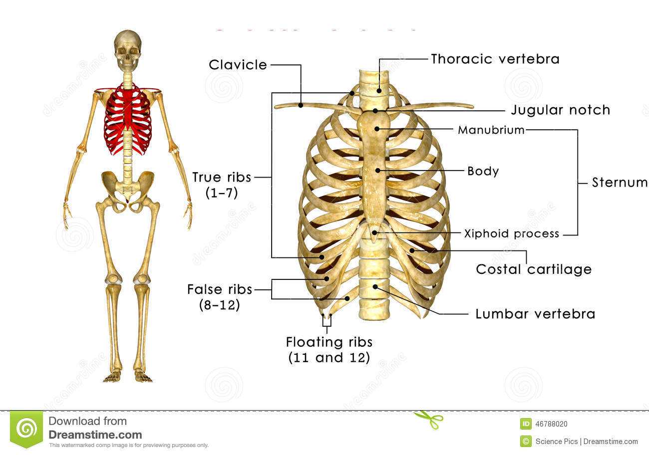 Skeleton Of Thorax Stock Illustration