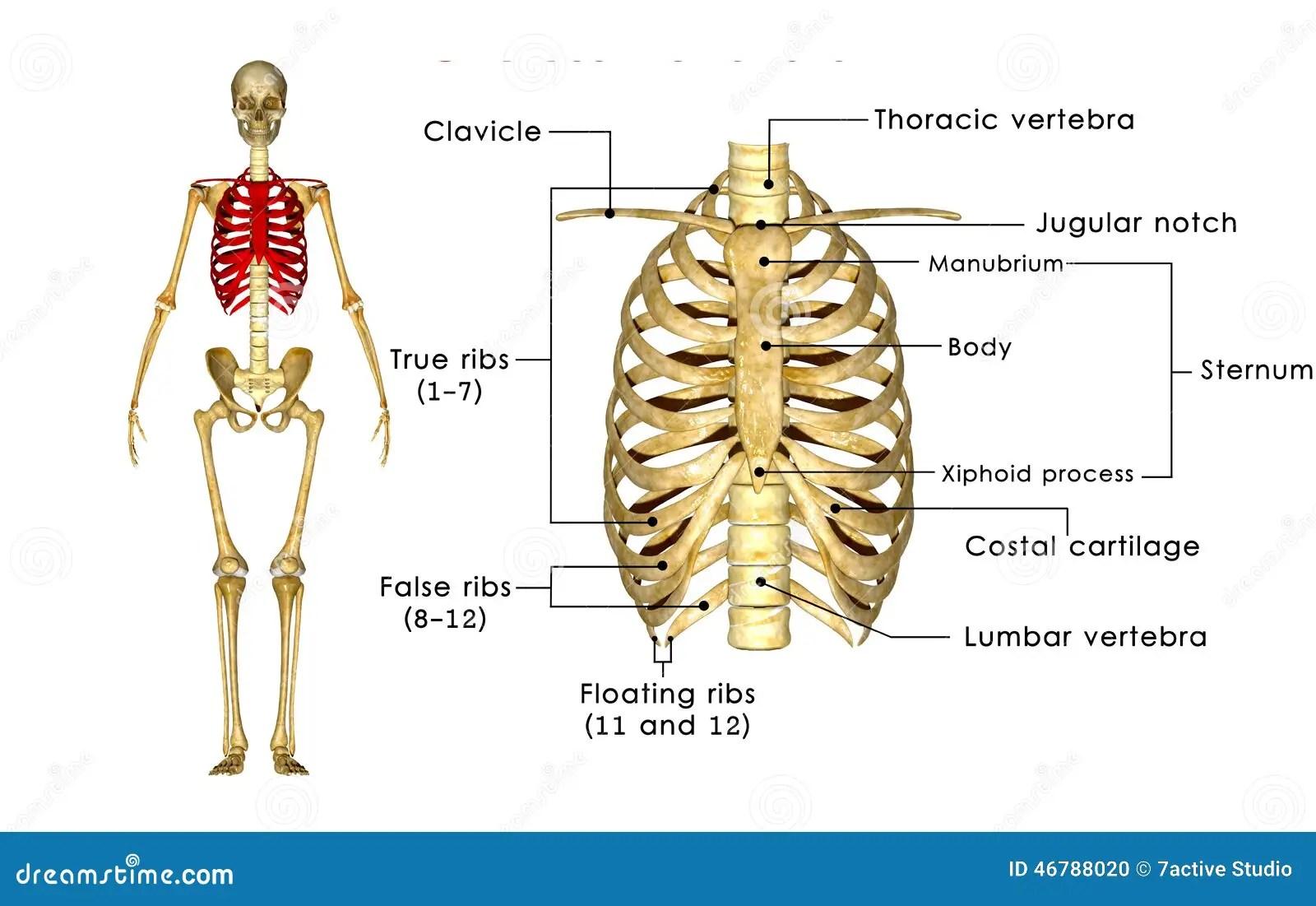 Skelett Des Thoraxes Stock Abbildung