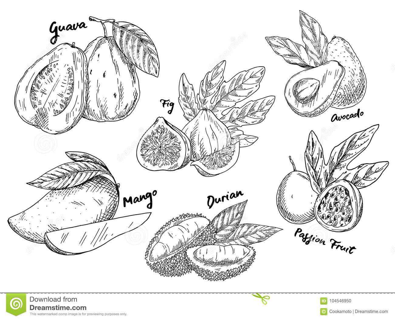 Sketch Of Guava And Avocado, Fig And Mango, Durian Stock