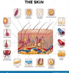 skin anatomy [ 1313 x 1300 Pixel ]