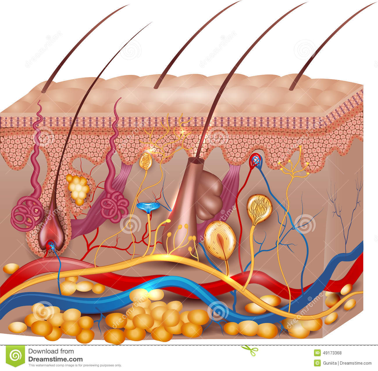 Skin Anatomy Stock Vector Illustration Of Care Follicle