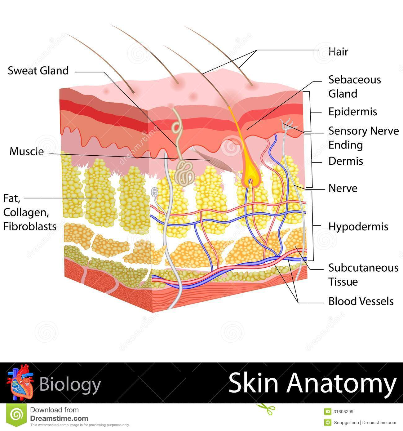 skin anatomy diagram labeled dual battery wiring 4x4 stock illustration of