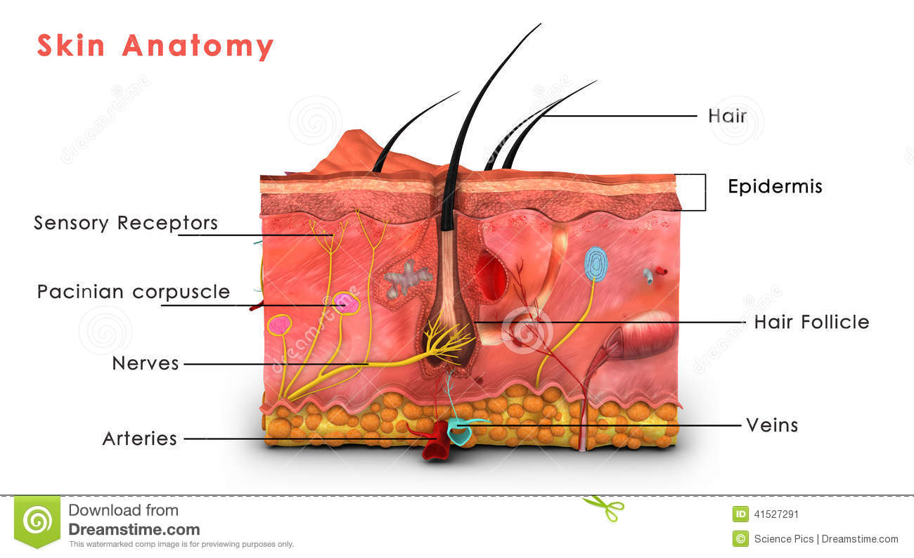 Skin Anatomy Labelled Stock Illustration