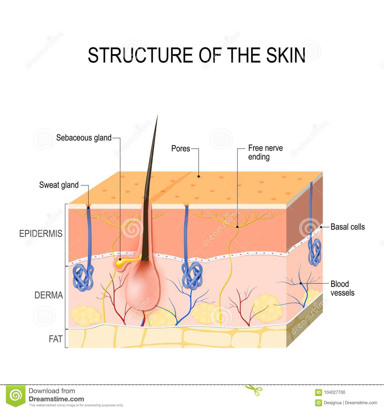 hight resolution of structure of the skin skin layers with blood vessel free nerve ending pores and glands sebaceous and sweat glands human anatomy