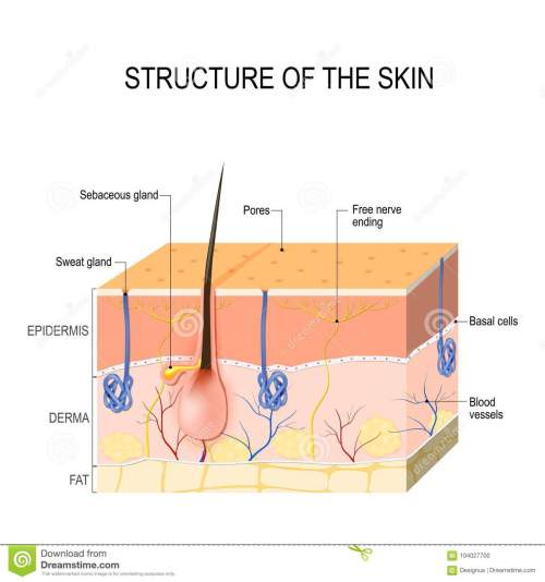 small resolution of structure of the skin skin layers with blood vessel free nerve ending pores and glands sebaceous and sweat glands human anatomy