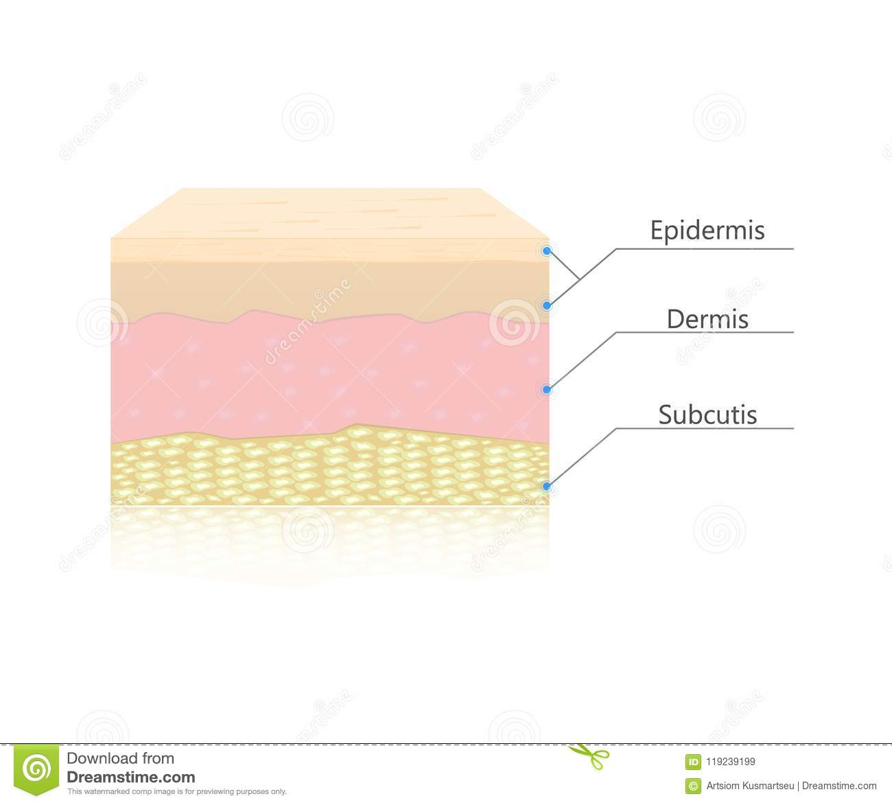 Skin Layers Vector Stock Vector Illustration Of Light