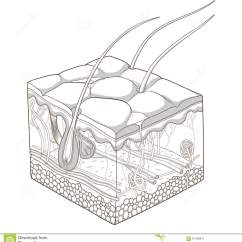 7 Layers Of Skin Diagram Land Rover Series 3 Wiring Structure Vector Illustration Stock - Image: 61166347