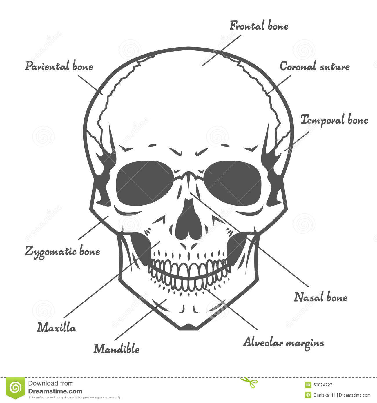Skull Anatomy At White Background Stock Vector