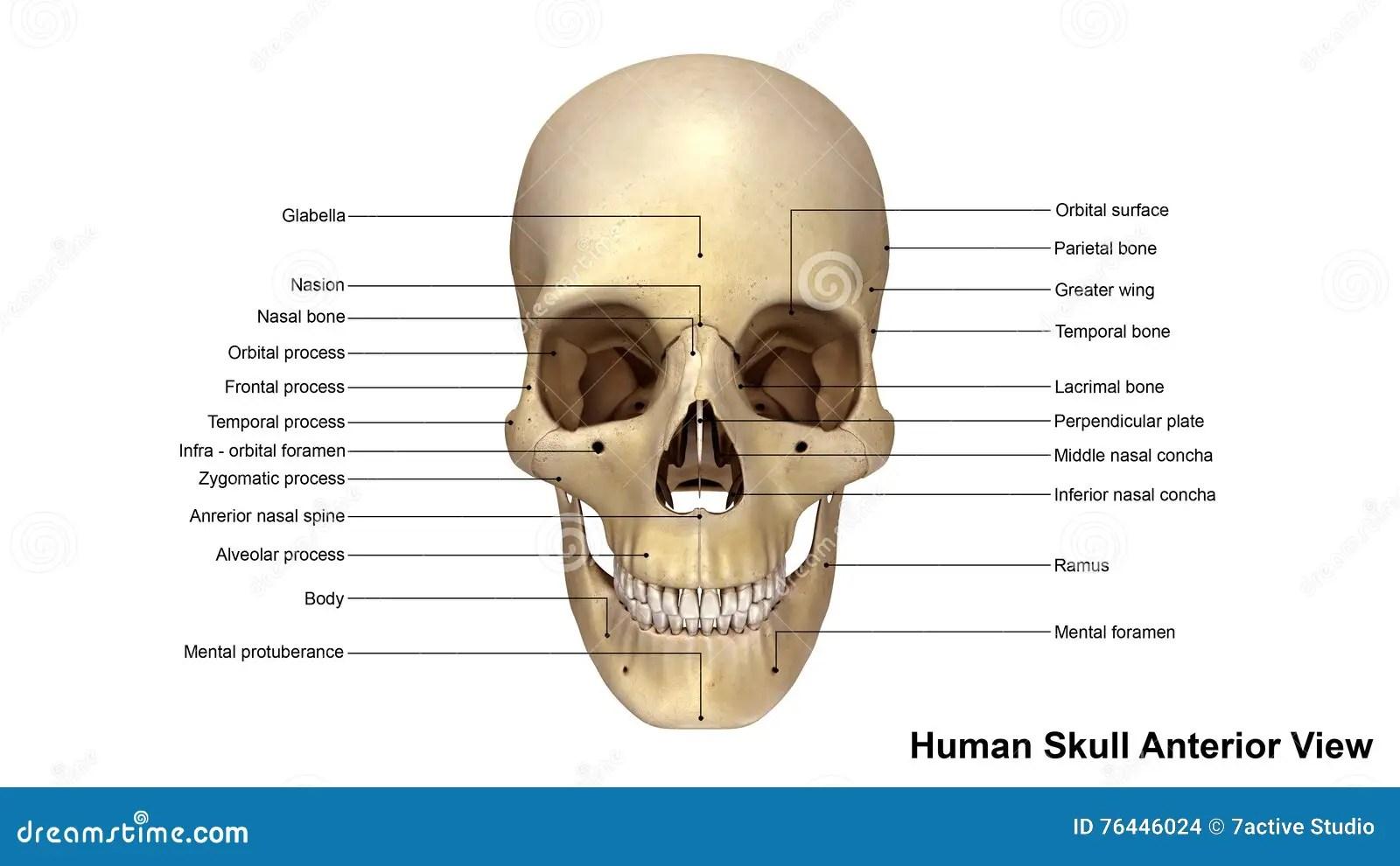 bones of the skull anterior view diagram 2000 buick lesabre wiring stock illustration. illustration - 76446024
