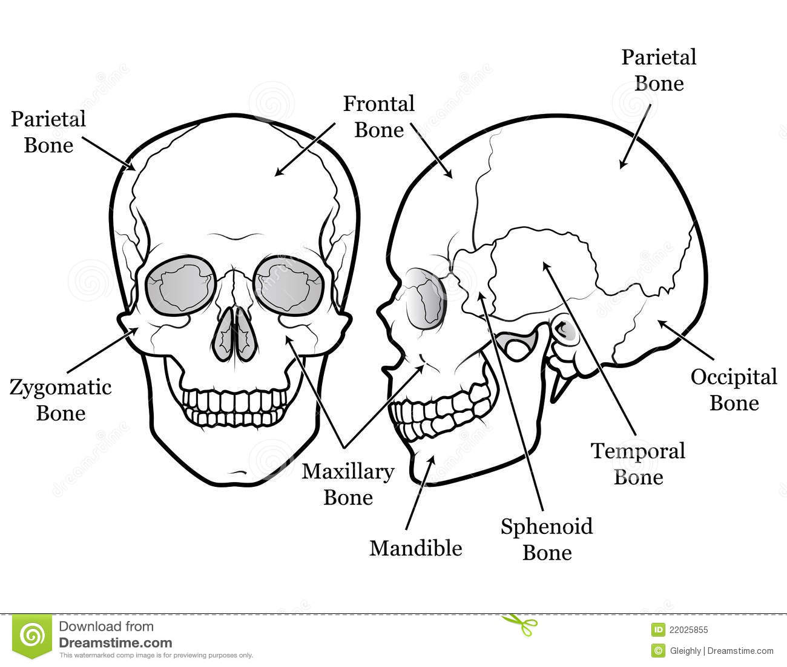Skull Chart Stock Vector Illustration Of Human Mandible