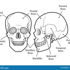 Human Mandible Diagram Mercruiser 350 Alternator Wiring Skull Chart Stock Vector Illustration Of 22025855 Medical Or Scary Halloween Icon