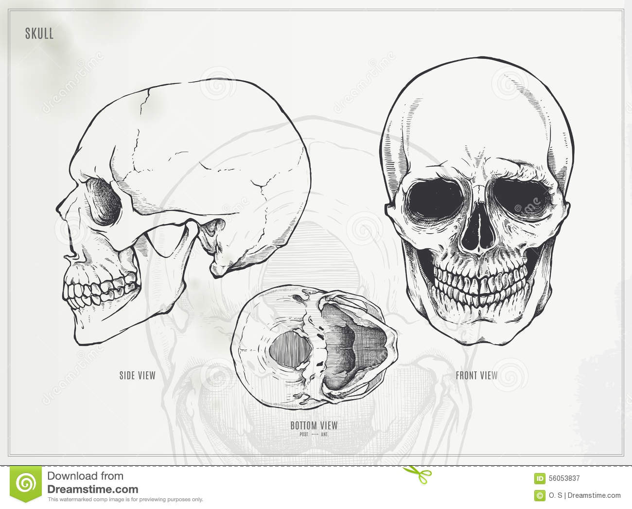 Skull Stock Vector Illustration Of Vector Head Bones