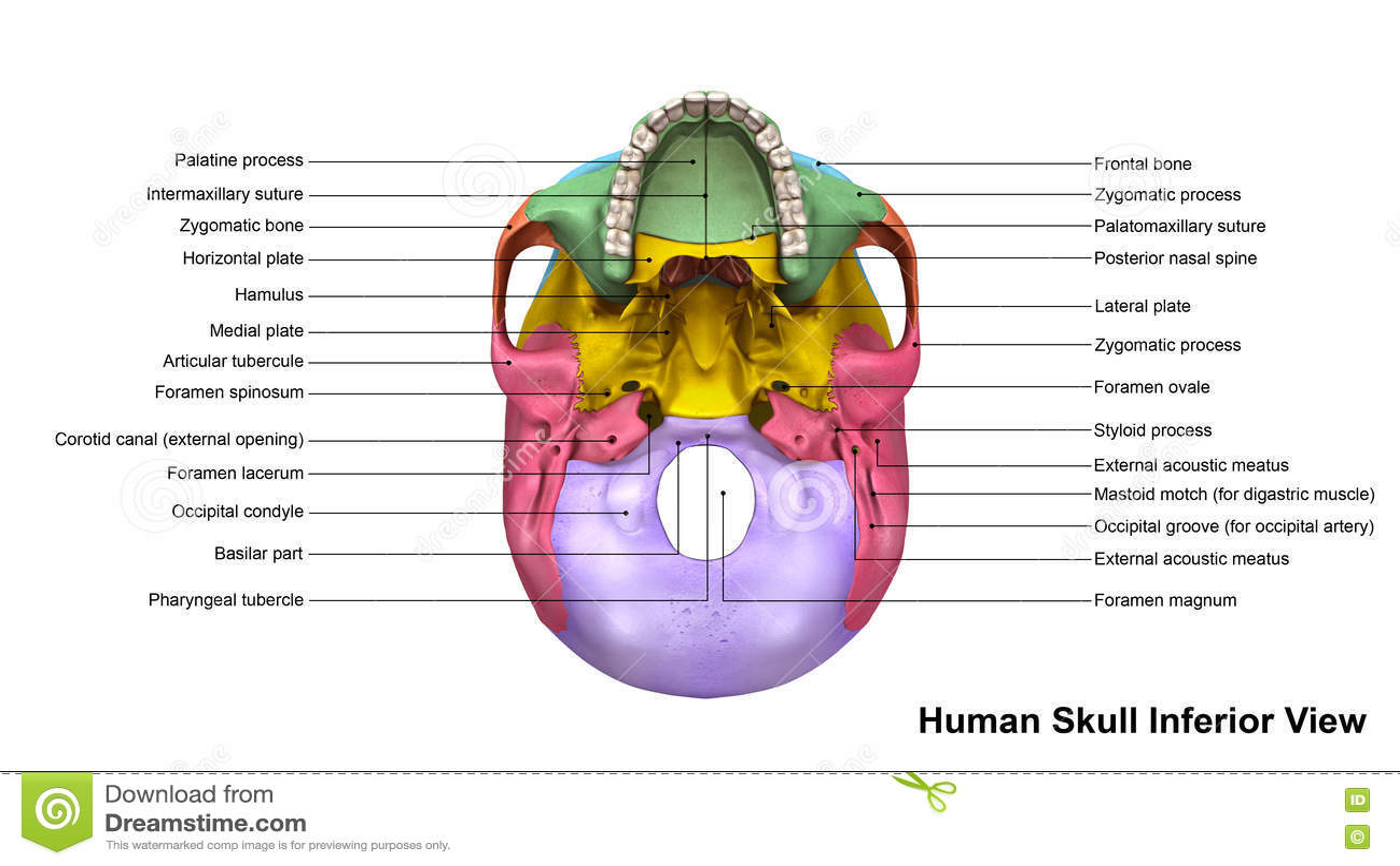 unlabeled skull diagram inferior view 2001 mazda 626 belt bone wiring diagrams images gallery