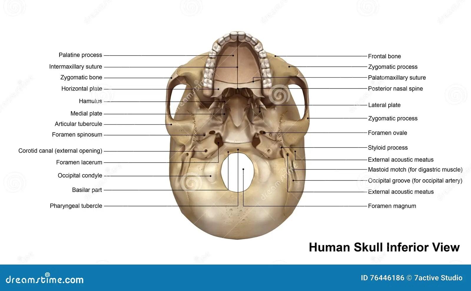 unlabeled skull diagram inferior view kazuma 110cc quad wiring stock illustration of
