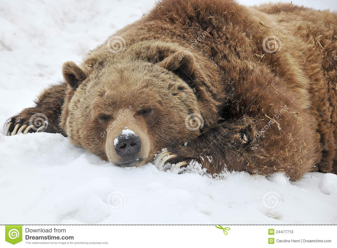 sleeping grizzly bear stock