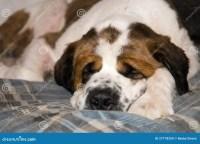 Sleeping Saint Benard Dog Royalty Free Stock Images ...