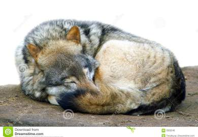 Wolf Images Stock Pictures Royalty Free Wolf Photos And