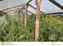 Small Greenhouse With Tomato Plants Stock