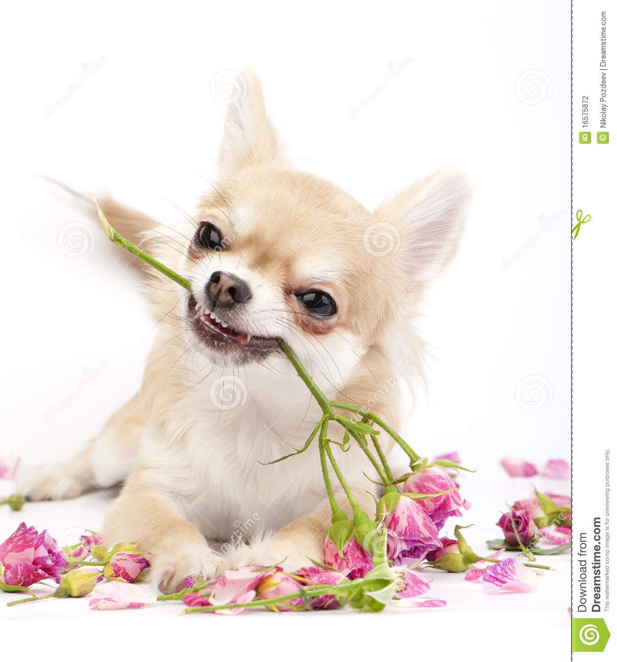 Pink Wallpaper With Cute Puppy Golden Retriever Smiling Chihuahua Puppy Giving Pink Roses Stock Photo