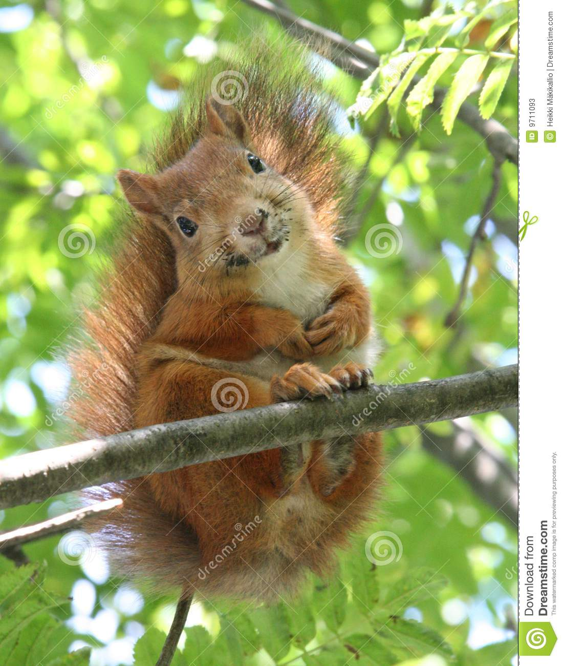 Cute Silly Wallpaper Smiling Squirrel Stock Image Image Of Cute Tail Smile