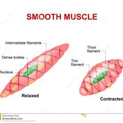 Muscle Fiber Diagram Funny Bar Smooth Tissue Cartoon Vector Cartoondealer