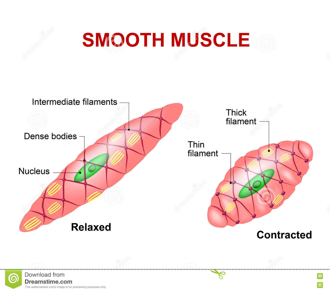 hight resolution of smooth muscle tissue