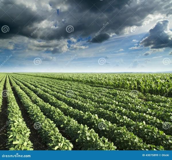 soybean corn field ripening