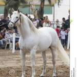 Beautiful Hispano Arabian Stallion In Jerez Editorial Stock Image Image Of Equestrian Male 111514909