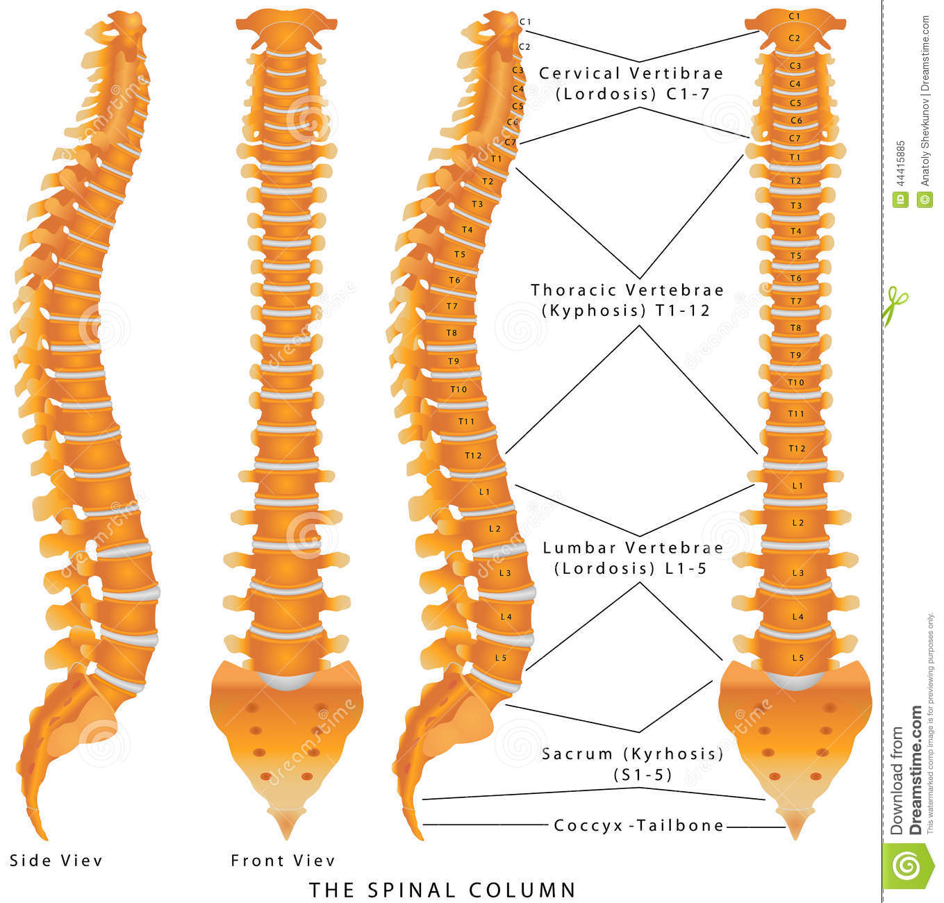 typical thoracic vertebrae diagram parts of a cow the spinal column stock image posture disc