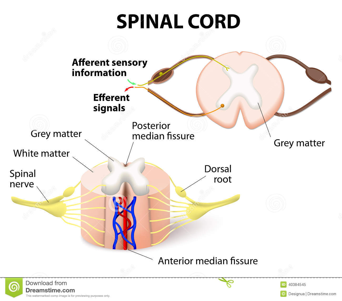 hight resolution of cross section of spinal cord central nervous system