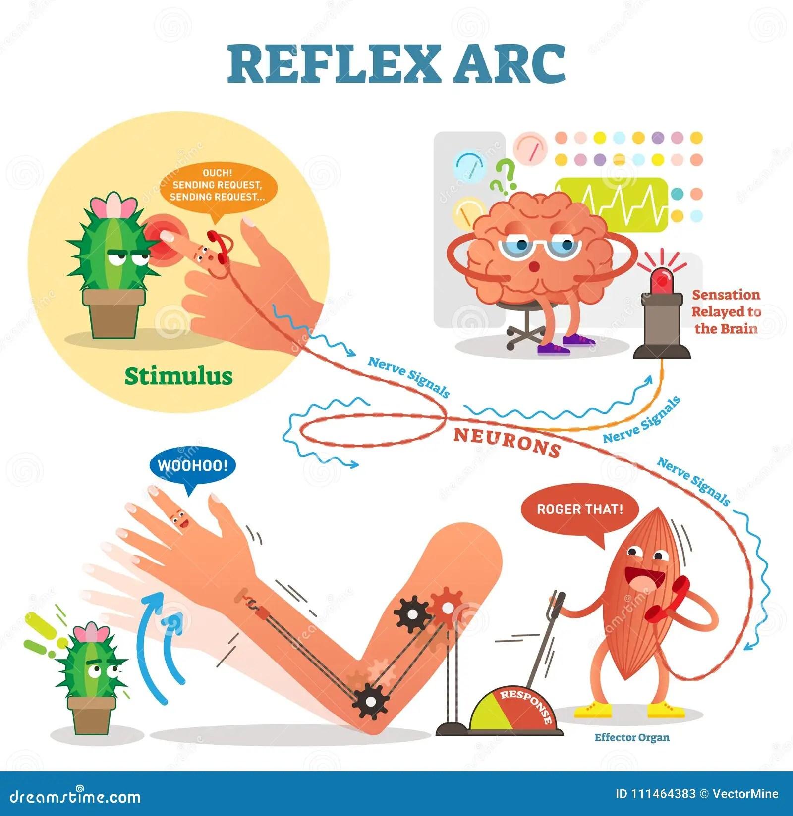 reflex arc diagram 2002 jeep tj radio wiring spinal scheme vector illustration with