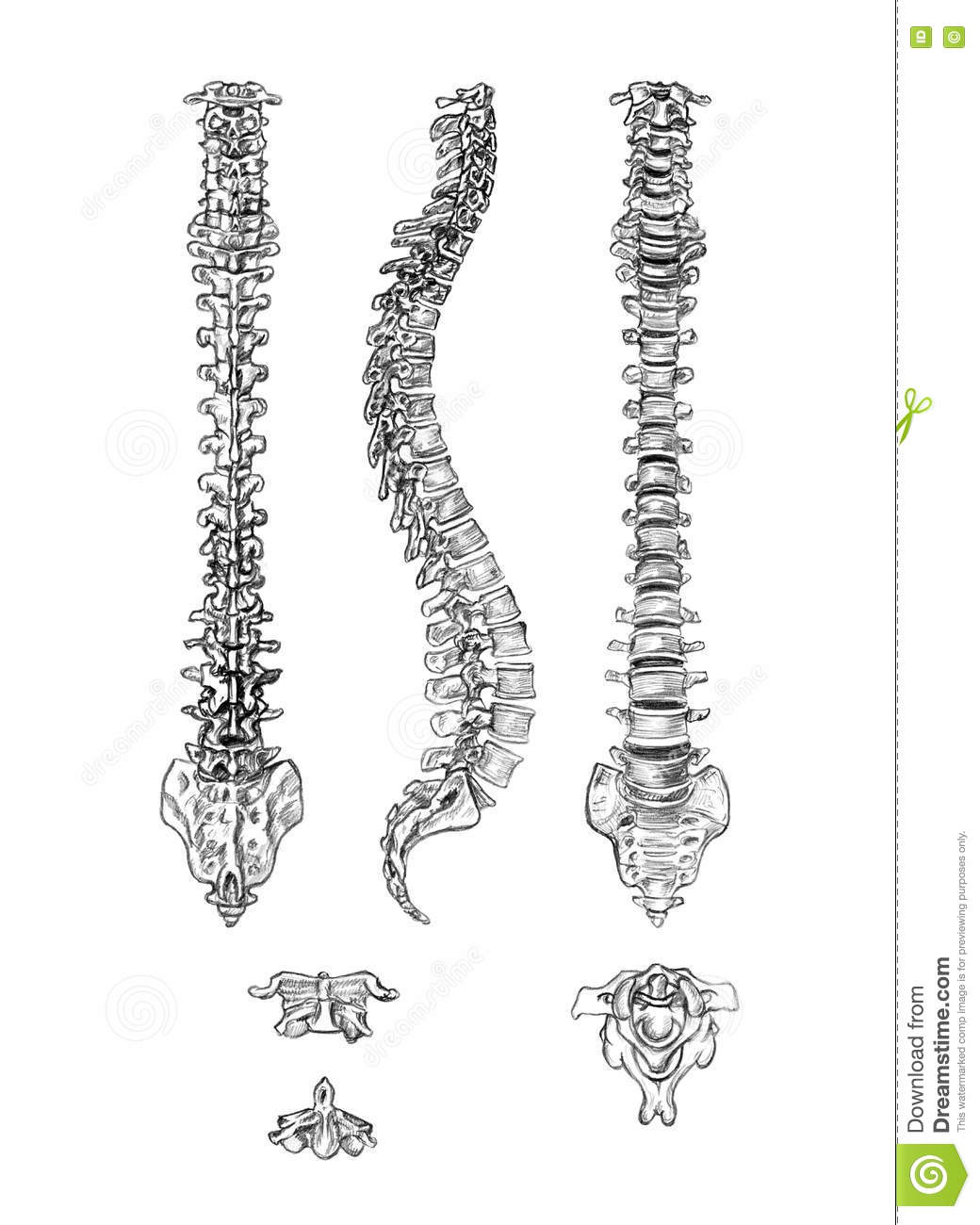 Spine 4 Angles And Vertebrae Stock Illustration