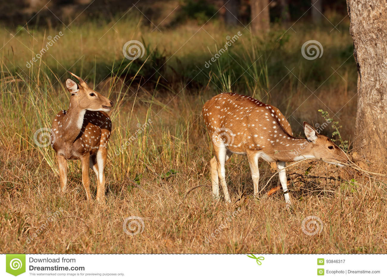 Spotted Deer In Natural Habitat Stock Image