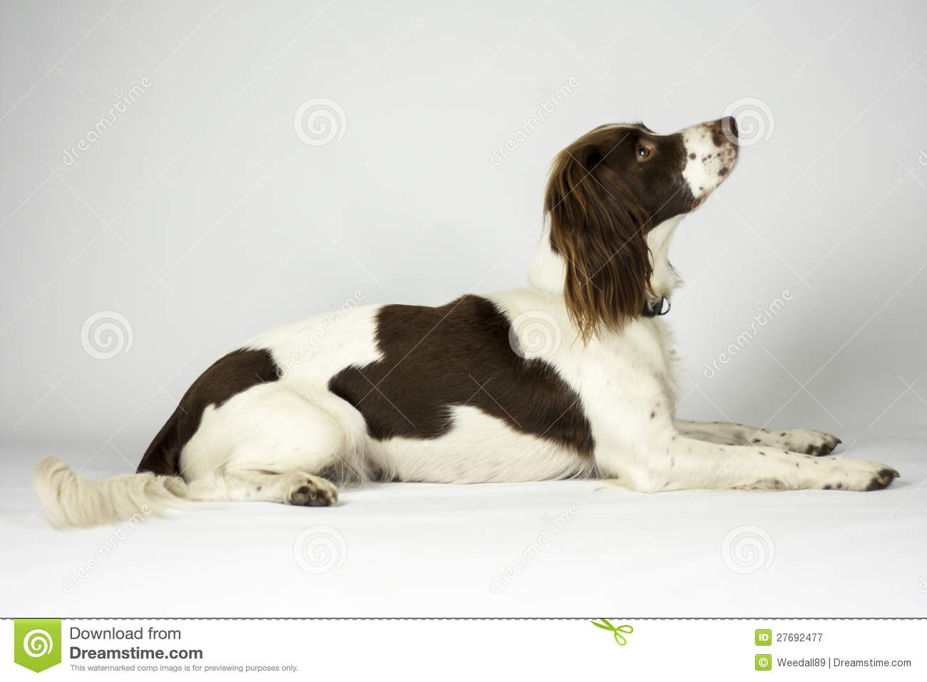 Springer Spaniel stock image Image of brown tired down
