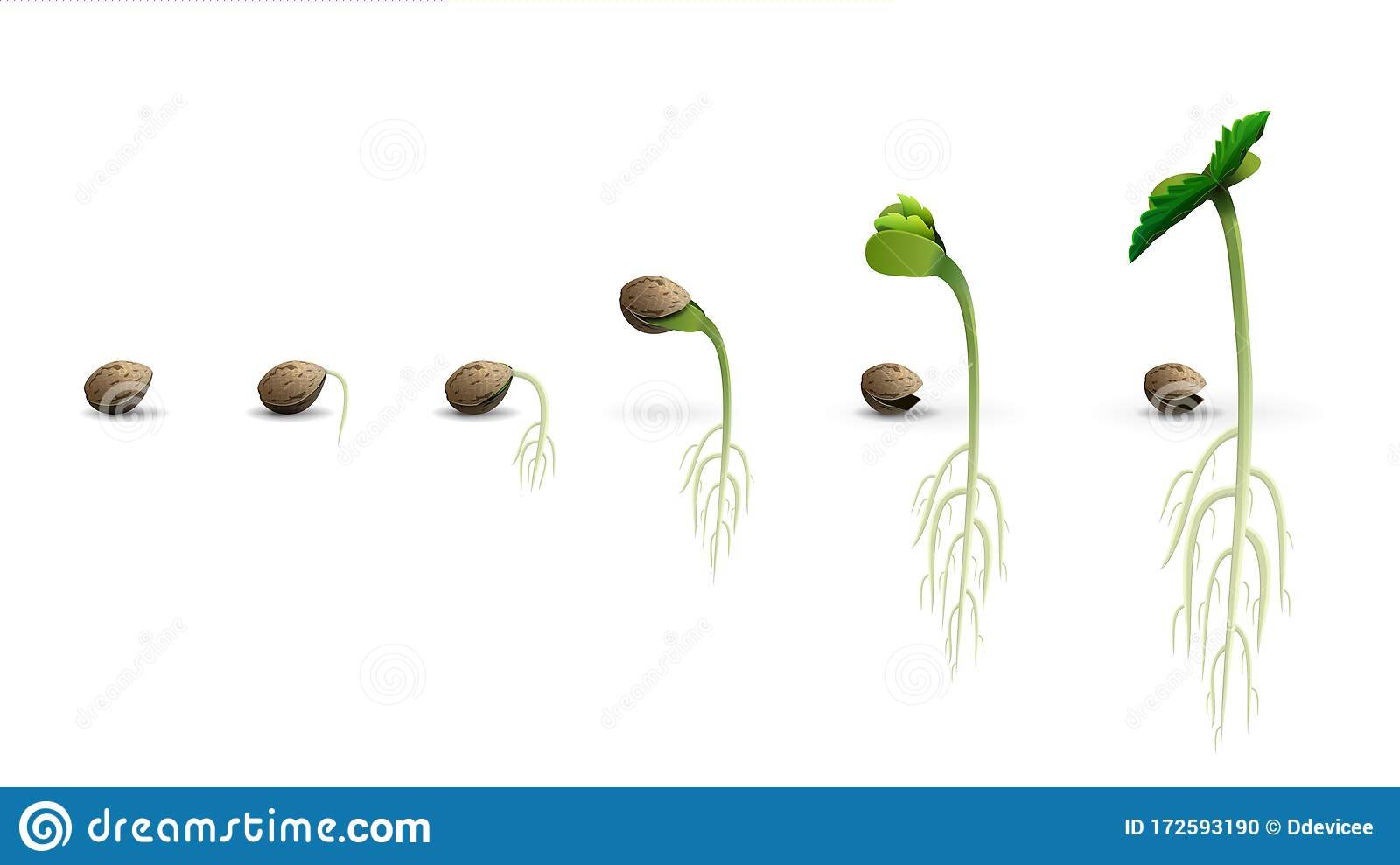 Stages Of Cannabis Seed Germination From Seed To Sprout