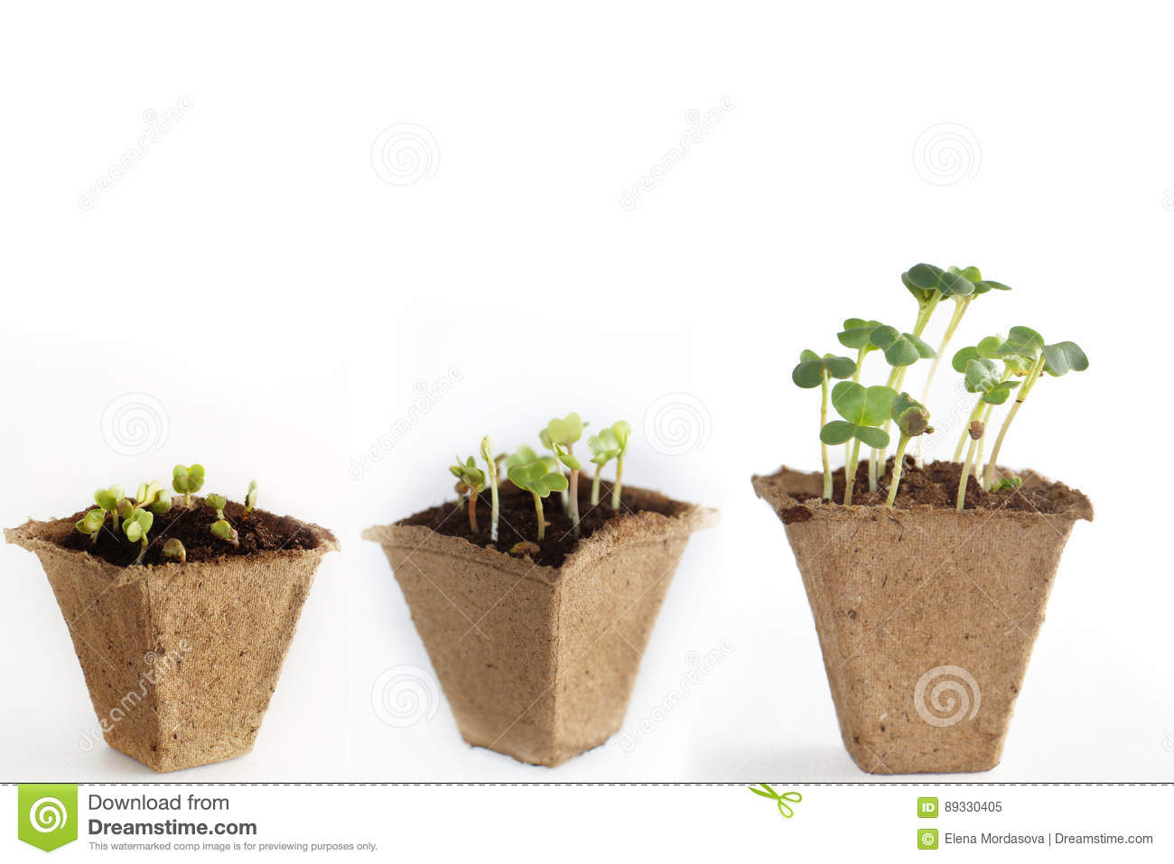 Stages Of Development Of Radish Sprouts Three Peat Pots
