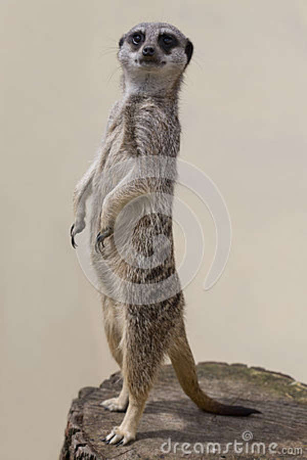 Standing Mercat Against A Plain Background Stock Photo