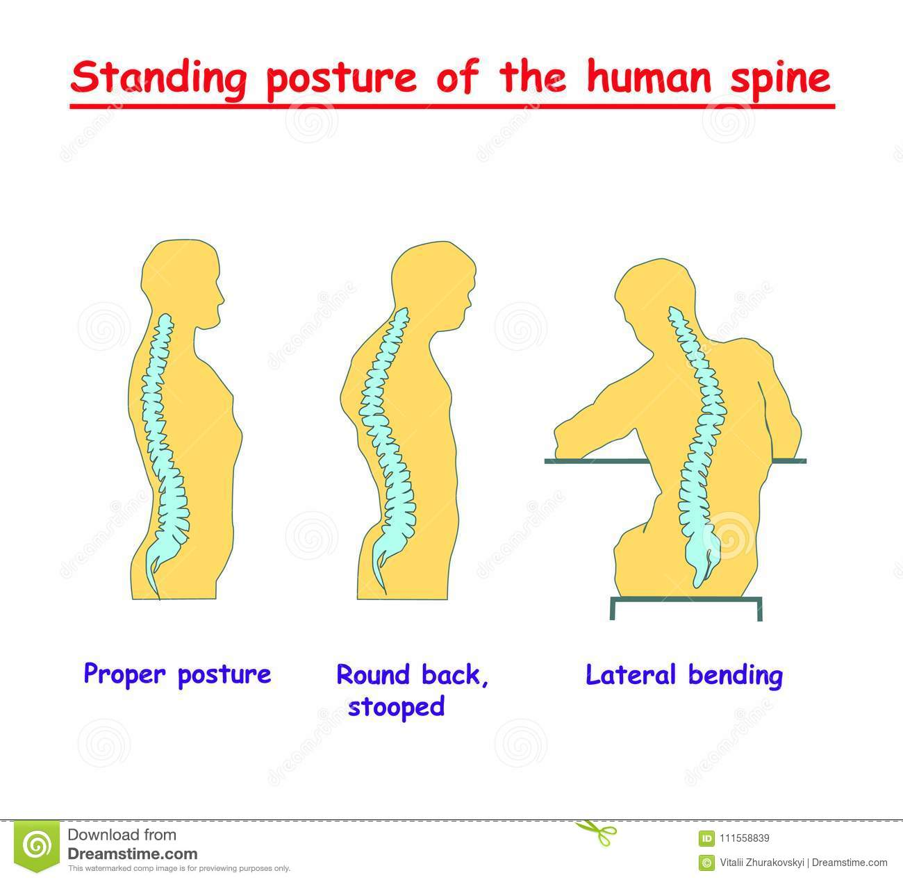 hight resolution of standing posture of the human spine defects of the human spine correct alignment of human body in standing posture vector