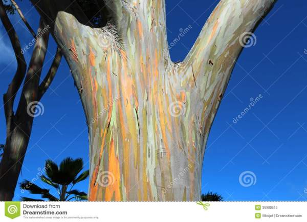 Mindanao Gum Tree