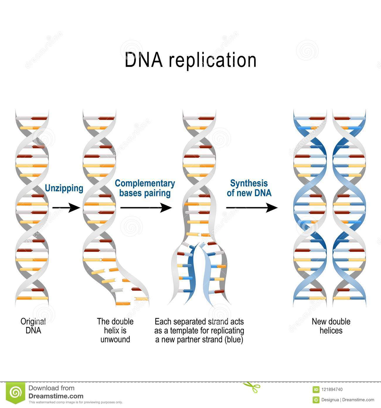 hight resolution of steps of dna replication