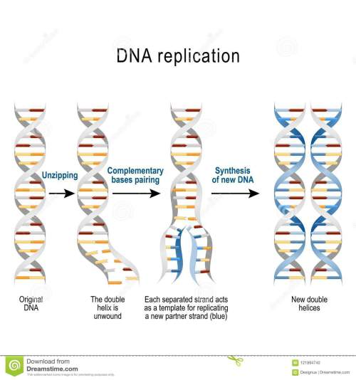 small resolution of steps of dna replication