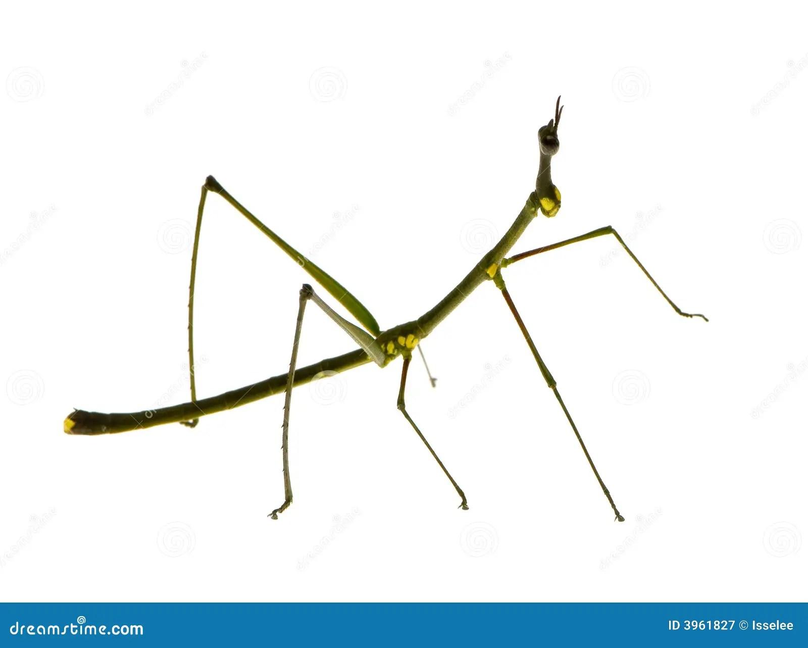 Stick Insect Phasmatodea