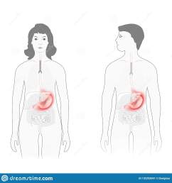 stomach pain male and female silhouette with highlighted of stomach human anatomy vector diagram for educational biological medical and science use [ 1600 x 1689 Pixel ]