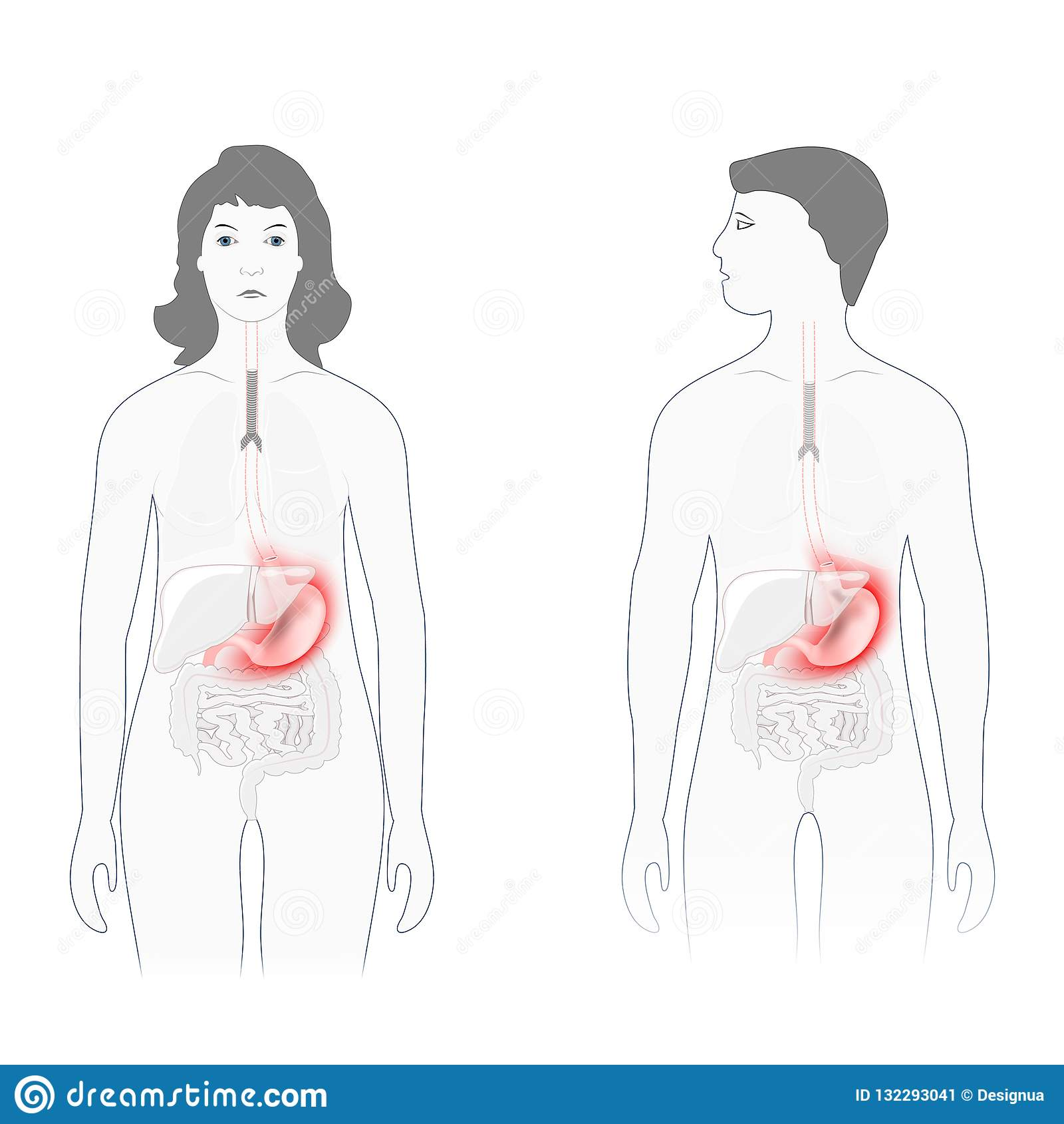 hight resolution of stomach pain male and female silhouette with highlighted of stomach human anatomy vector diagram for educational biological medical and science use